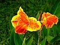 พุทธรักษา Canna indica L. วงศ์ Cannaceae (18).jpg