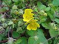 キジムシロ(雉莚-雉蓆)(Potentilla fragarioides var. major)-花 (5844541697).jpg