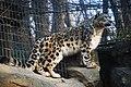 ユキヒョウ (Snow Leopard) (3262622669).jpg