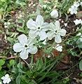 亞麻葉臍果草 Omphalodes linifolia -維也納大學植物園 Vienna University Botanical Garden- (27899794384).jpg