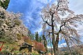 徹然桜 - panoramio (1).jpg
