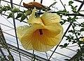 木槿屬 Hibiscus greenwayi -日本大阪鮮花競放館 Osaka Sakuya Konohana Kan, Japan- (28254717138).jpg