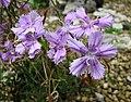 石竹屬 Dianthus shinanensis -日本大阪鮮花競放館 Osaka Sakuya Konohana Kan, Japan- (42277025901).jpg