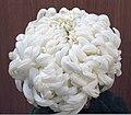 菊花-碧雲鉤 Chrysanthemum morifolium 'Bluish Cloud Hooks' -香港房委樂富花展 Lok Fu Flower Show, Hong Kong- (12026621743).jpg