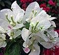 葉子花屬 Bougainvillea x spectoperuviana 'Surprise' -深圳蓮花山公園 Shenzhen Lianhuashan Park, China- (11204023813).jpg