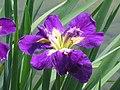 路易斯安那鳶尾 Iris louisiana Sinfonietta -香港公園 Hong Kong Park- (9200947138).jpg