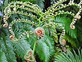 金狗毛蕨 Cibotium barometz - panoramio.jpg