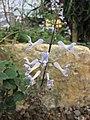 香茶菜屬 Plectranthus ernstii -比利時國家植物園 Belgium National Botanic Garden- (9198100563).jpg