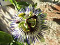 -2019-09-01 Passionflower (Passiflora incarnata), Trimingham.JPG