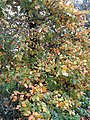 -2019-11-11 Autumn leafs on a tree, Mundesley Road, Overstrand.JPG