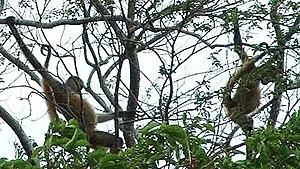 Geoffroy's spider monkey - Wild Nicaraguan spider monkeys (A. g. geoffroyi), Guanacaste Province, Costa Rica