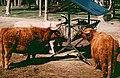 2002-04-28 5320 Gänserndorf Schottisches Hochlandrind.jpg