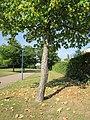 20120817Amberbaum Hockenheim2.jpg