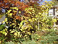 2014-10-30 10 05 31 Mulberry and other plants during autumn leaf coloration along Dunmore Avenue in Ewing, New Jersey.JPG