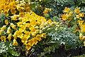 20140612 VanDusen Tropaeolum Polyphyllum.jpg