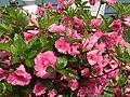 2015-05-17 14 30 15 Rosebud Azalea blossoms on Terrace Boulevard in Ewing, New Jersey.jpg