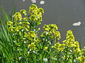 20150423Barbarea vulgaris3.jpg