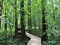 2016-07-20 14 22 34 View along the boardwalk trail at the Battle Creek Cypress Swamp in Calvert County, Maryland.jpg