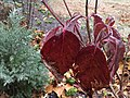 2016-12-17 08 45 59 'Cherokee Brave' Pink Flowering Dogwood foliage coated in glaze ice from freezing rain along Tranquility Court in the Franklin Farm section of Oak Hill, Fairfax County, Virginia.jpg