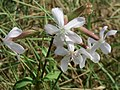 20160917Saponaria officinalis2.jpg