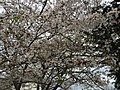 2017-04-03 15 46 28 White Flowering Cherry flowers along Scotsmore Way near Kinross Circle in the Chantilly Highlands section of Oak Hill, Fairfax County, Virginia.jpg