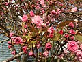 2017-04-10 17 30 23 Kanzan Japanese Cherry flowers starting to open along White Barn Lane at White Barn Court in the Franklin Farm section of Oak Hill, Fairfax County, Virginia.jpg