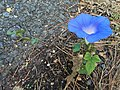 2017-10-25 16 10 11 Morning Glory flowering along Tranquility Court in the Franklin Farm section of Oak Hill, Fairfax County, Virginia.jpg