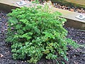 2018-04-10 Curley leaf parsley, (Petroselinum crispum), Northrepps, Cromer.JPG