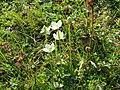 2018-08-29 (205) Parnassia palustris (bog-star) at Rax, Austria.jpg