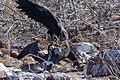 20180805-Frigatebird steals food from the Blue-footed booby at Seymour Norte-3 (9269).jpg