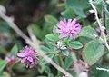 2018 10 03 Trifolium resupinatum.jpg