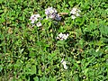 2019-04-25 (116) Cardamine pratensis (cuckooflower) at Haltgraben, Frankenfels, Austria.jpg