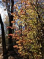 2019-11-26 12 41 02 A Euonymus during late autumn in a wooded area along a walking path in the Franklin Glen section of Chantilly, Fairfax County, Virginia.jpg