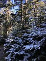 2020-10-17 14 23 30 Balsam Firs covered in a light coating of snow along the Lookout Rock Trail on Equinox Mountain in Manchester, Bennington County, Vermont.jpg