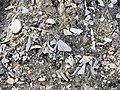 2020-10-18 17 07 06 Sea shell fragments on the beach near East 9th Street in Barnegat Light, Ocean County, New Jersey.jpg