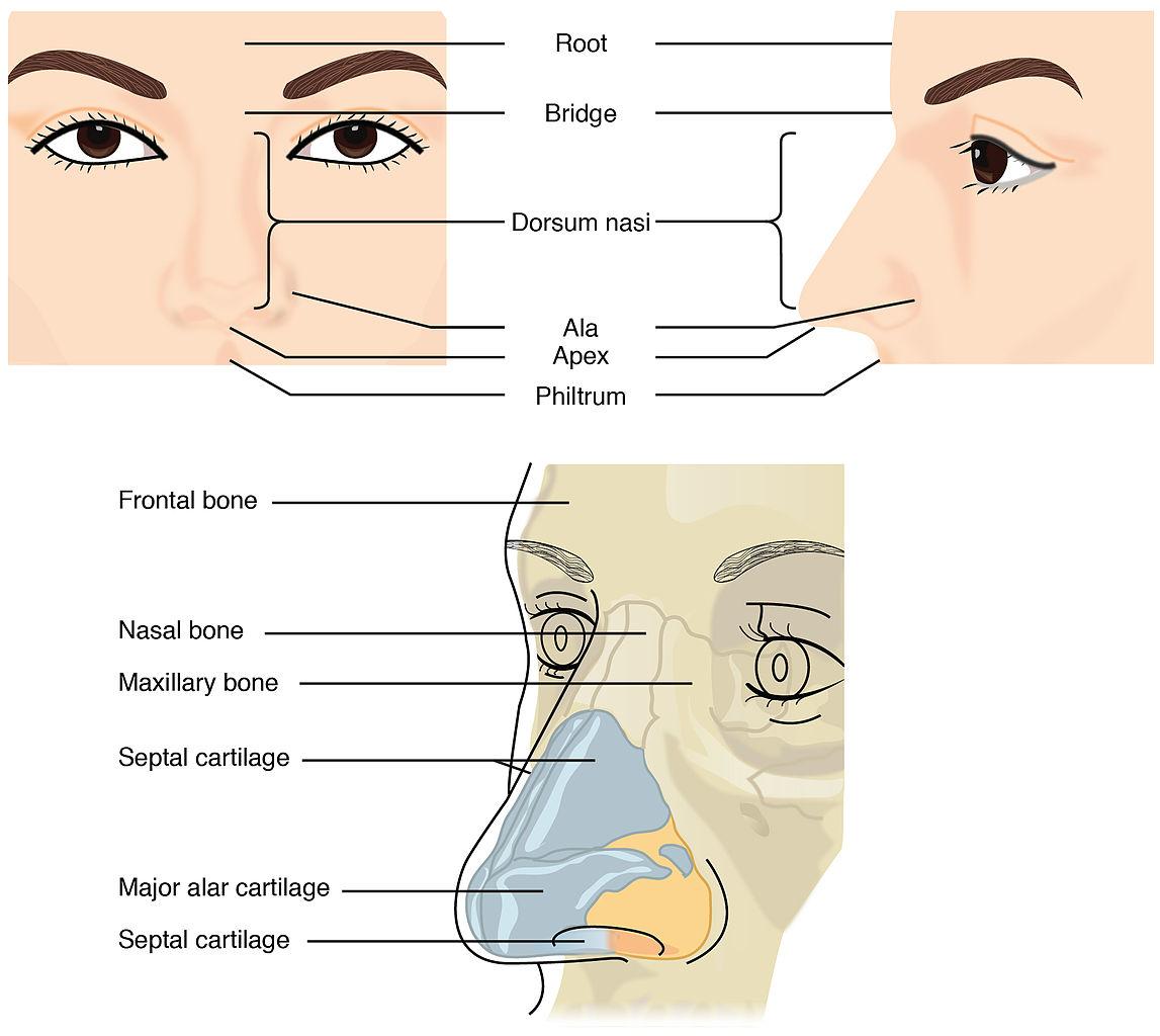 File:2302 External Nose.jpg - Wikimedia Commons