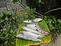 2357Fishes of the Philippines 76.jpg
