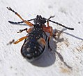 29 03 09 (189) Coleoptera Oulema melanopus (3396481960).jpg