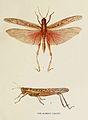 47-Indian-Insect-Life - Harold Maxwell-Lefroy - Acridium-Succinctum.jpg