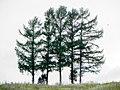 5本の木(モラルの木かも・・・) - panoramio.jpg