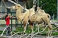 50 Jahre Knie's Kinderzoo - Camelus bactrianus (Trampeltier) 2012-10-03 15-24-05.JPG