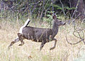 5219 black-tailed fawn swingle odfw (8122807811).jpg