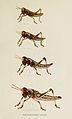 83-Indian-Insect-Life - Harold Maxwell-Lefroy - Acridium-Peregrinum.jpg