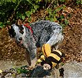 ACD puppy Red Manor's Avis-Gin.jpg