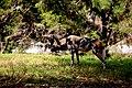 AFRICAN WILD DOG (14053268995).jpg