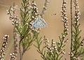 A Common Blue - Polyommatus icarus 01.jpg