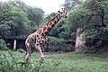 A Giraffe welcoming the Rainy season at National Zoological Park in New Delhi on July 7, 2005.jpg