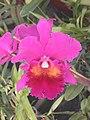 A and B Larsen orchids - Brassolaeliocattleya Lucky Strike Mangkorn2 DSCN2072.JPG