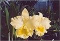 A and B Larsen orchids - Brassolaeliocattleya Malworth 912-13.jpg