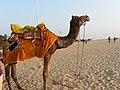 A camel at Alappuzha beach - panoramio.jpg